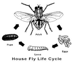 House fly life cycle diagram electrical work wiring diagram flesh fly rh kznhealth gov za fly anatomy diagram diagram of life cycle of housefly ccuart Gallery